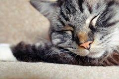 SLEEPING PEDIGREE RAGDOLL. Happy sleeping cat close-up Royalty Free Stock Photo