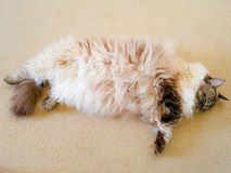 Sleeping pedigree Ragdoll lynx tabby seal point. Sleeping ragdoll cat laying on a cream carpet on his back Royalty Free Stock Images