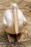 Sleeping Pelican Royalty Free Stock Photo