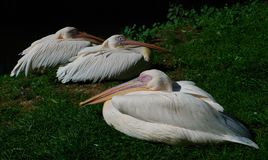Sleeping pelicans Stock Photography