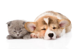 Sleeping Pembroke Welsh Corgi puppy and kitten. isolated Royalty Free Stock Photos