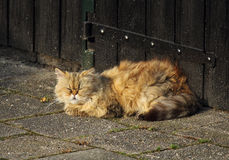Sleeping persian cat Royalty Free Stock Photography