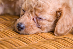 Sleeping pet puppy,poodle Royalty Free Stock Image