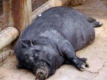 Sleeping pig 1. Full view of a black pig sleeping Stock Image