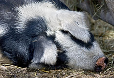 Sleeping pig 1 Stock Image