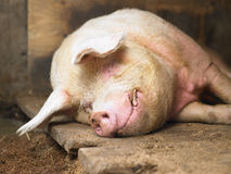 Sleeping Pig Stock Image