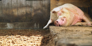 Sleeping Pig Royalty Free Stock Image