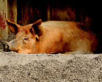 Sleeping Pig. A pig sleeping on the farm stock photo