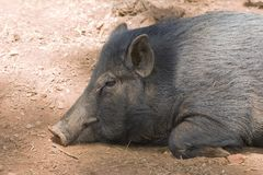 Sleeping pig Stock Photography