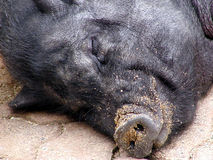 Sleeping pig 2. Close-up view of a black pig sleeping stock photography