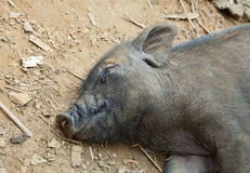 Sleeping Pig Stock Photos