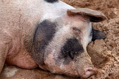 Sleeping Pig Royalty Free Stock Image