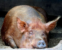 Sleeping pig Stock Images