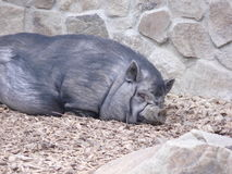 Sleeping pig. In Ostrava Zoo Royalty Free Stock Photo