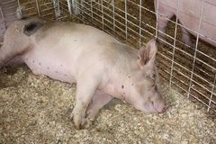 Sleeping Pig at County Fair Royalty Free Stock Photos