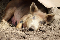 Sleeping Pig Royalty Free Stock Photos