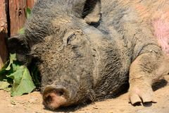 Sleeping pig Royalty Free Stock Photography