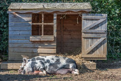 Sleeping pig. Resting pig in front of a house Stock Image