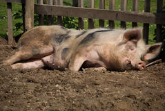 Sleeping pig in the sun Royalty Free Stock Image