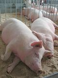 Sleeping piggies Royalty Free Stock Photos