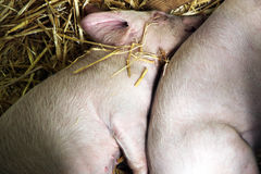 Sleeping piglet. Cute piglet sleeping soundly in the hay royalty free stock photos