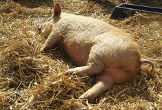 Sleeping Piglet Royalty Free Stock Photo