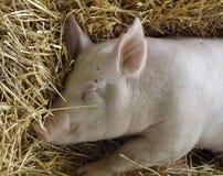 Sleeping Piglet Royalty Free Stock Photos