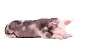 Sleeping piglet. Lying isolated on white background stock photography