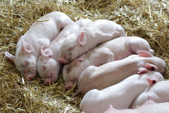 Sleeping piglets Royalty Free Stock Image