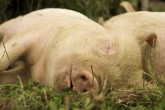 Sleeping Piglets Royalty Free Stock Photography