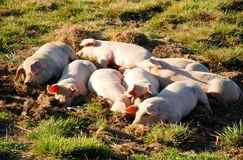 Sleeping piglets. Eight piglets sleeping on the grass and mud and having all the freedom they need for growing healthy and happy Royalty Free Stock Images