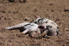 Sleeping Piglets Stock Photo