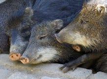 Sleeping piglets Stock Image