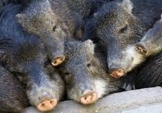 Sleeping piglets Stock Photo