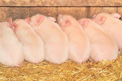 Sleeping pigs Royalty Free Stock Photos