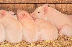 Sleeping pigs Royalty Free Stock Images