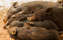 Sleeping pigs Stock Photos