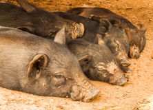 Sleeping pigs Stock Image