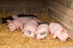 Sleeping Pigs Stock Images
