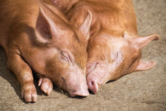 Sleeping pigs stock photography