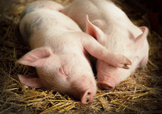Sleeping Pigs Stock Photo