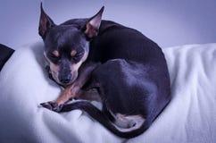 Sleeping pincher dog. Pincher dog sleeping on sofa Royalty Free Stock Images
