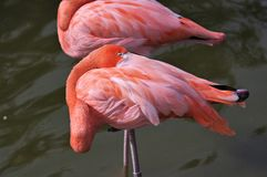 Sleeping Pink flamingo with head under wing royalty free stock photos
