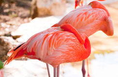 Sleeping pink flamingos. In Mexico Royalty Free Stock Photos