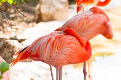 Pink flamingos in wildlife royalty free stock photo