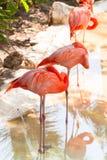 Pink flamingos in wildlife stock image