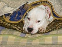Sleeping Pit Bull Puppy Stock Photo