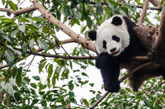 Sleeping playful giant panda. Playful giant panda is sleeping on tree Stock Image