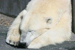 Sleeping polar bear. Portrait head from a sleeping polar bear Royalty Free Stock Images