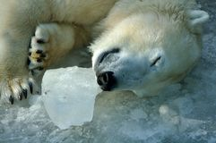 Sleeping polar bear. On frozen water Royalty Free Stock Photos